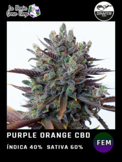 purple orange cbd floreciendo